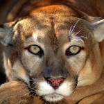 big_cats_-_puma