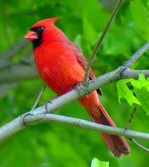 littlebirdie-cardinal